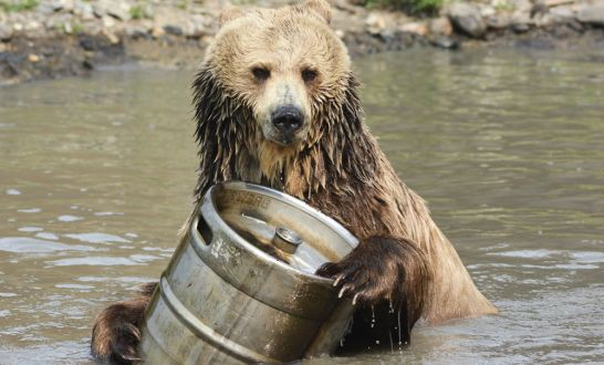 bears can smell the fermentation